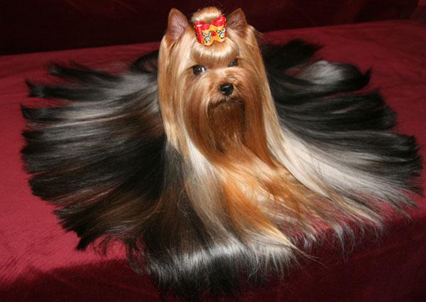 Йоркширский терьер (Yorkshire terrier) - декоративная порода собак, выведенная в Англии, графстве Йоркшир в конце XIX...