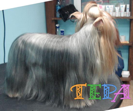 Длинный волос - стрижка стандарт у йорков